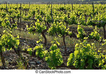 Grapevine plantation - Grape vines are growing on the...