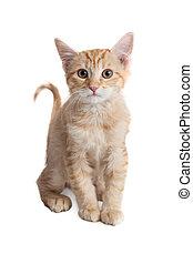 Cute Little Orange Kitten Over White
