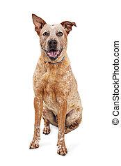 Happy Heeler Crossbreed Dog Sitting - Smiling red heeler dog...