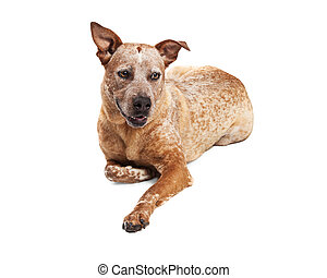 Heeler Crossbreed Dog Laying Over White - Red heeler...