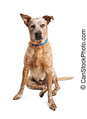 Heeler Crossbreed Dog Sitting Over White - Large red Heeler...