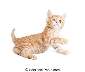 Playful orange kitten reaching paw forward - Cute little...