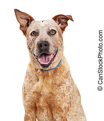 Portrait Happy Red Heeler Crossbreed Dog - Closeup of happy...