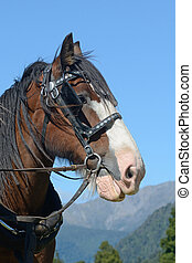 Clydesdale ready to go - A portrait of a Clydesdale horse...