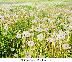 Air dandelions on a green field. Spring background.