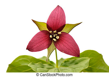 Red trillium isolated on white background