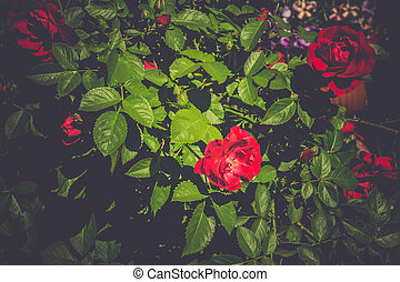 Red Climbing Rose Retro - Red roses climb a rose arbor in...