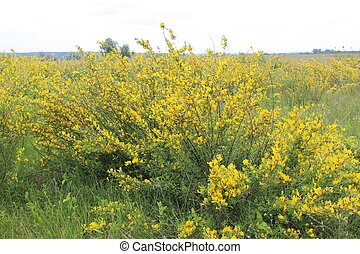 Yellow blooming acacia bushes on spring
