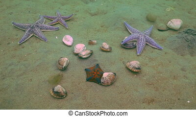 Starfish prey on a sandy bottom on the shells Amazing...