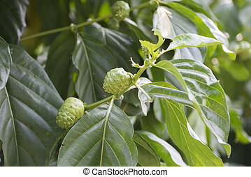 Noni or Morinda citrifolia, great morinda, Indian mulberry,...