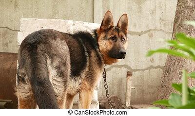 dog breed German Shepherd portrait