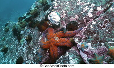 Large starfish on sea bottom in search of food.