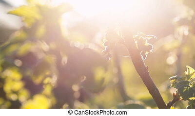 Branches of unripe currant against a sunlight. Springtime...