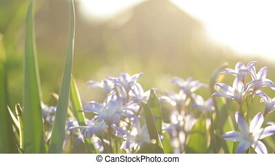 Small violet flowers on the background of sunlight Video...