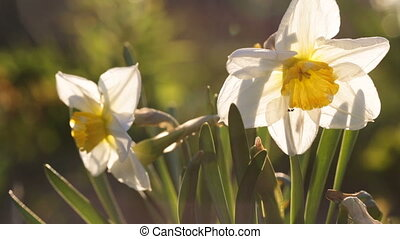 Little insect has got into a narcissus. Video full hd.