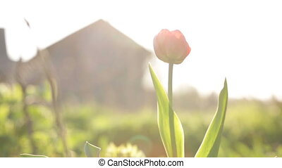 Lonely tulip swaying in the wind. Video full hd.