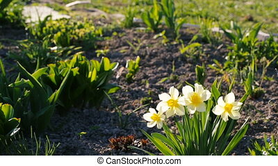 Small white daffodils in the yard. Springtime video full hd.