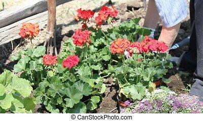 Planting Geraniums - Planting geraniums by an old cedar...