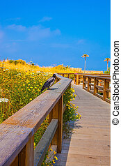 Wooden walkway with handrails - Raven sitting on railing...