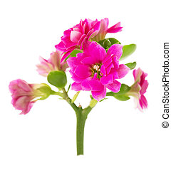 Red Kalanchoe flower closeup isolated on white background