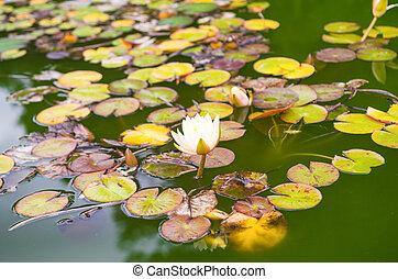 eau, lily, ,