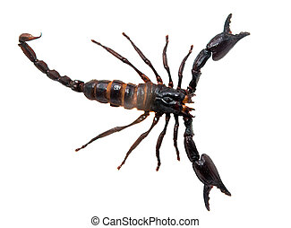 scorpion, isolated, ,