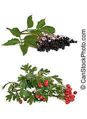 Hawthorn and Elderberry Fruit - Hawthorn berry and...