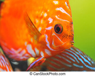 red discus - portrait of a red tropical Symphysodon discus...