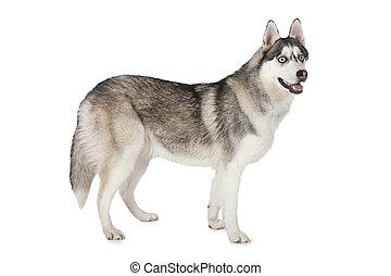 Purebred Siberian Husky dog over white - Purebred Siberian...