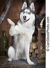 Siberian Husky dog waving hello with his right paw in the...