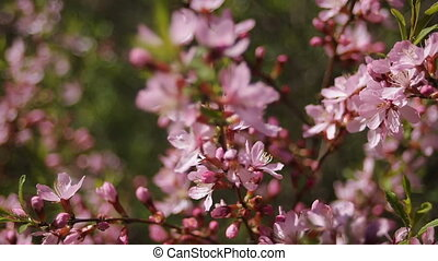 pink blooming branches swaying in the wind ornamental shrub...
