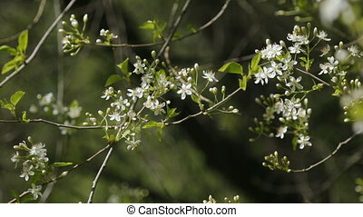 white cherry blooming branches swaying in the wind