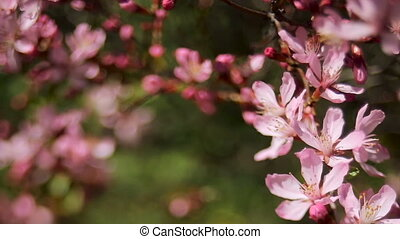 pink blooming branches swaying in the wind