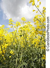 yellow mustard crop