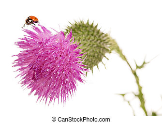 The Thistle flower closeup isolated on white