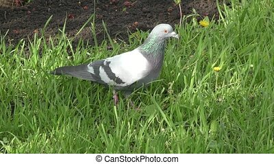 Rock dove in spring morning - Rock dove on the walk in...