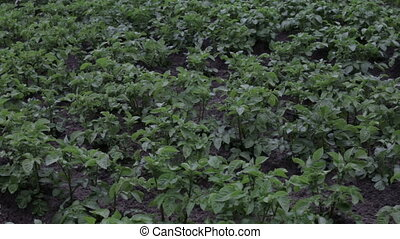 Potato plants with white flowers in a large field