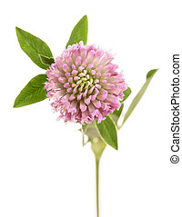Macro Clover or trefoil flower medicinal herbs isolated on...