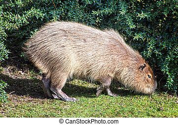 capybara - The capybara (Hydrochoerus hydrochaeris ), the...