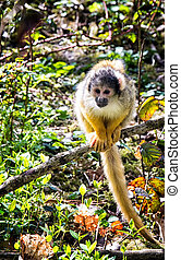 Squirrel monkey Saimiri boliviensis