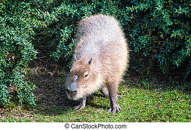 capybara - The capybara Hydrochoerus hydrochaeris , the...