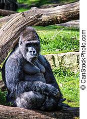Gorilla - Portrait of a western lowland gorilla (Gorilla...
