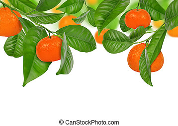 mandarine tree - Mandarines hanging on a mandarine tree on...
