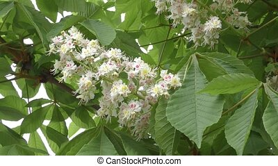Blooming chestnut in the morning
