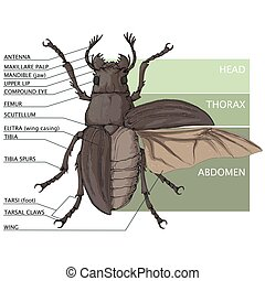 Beetle - The structure of the beetle. Vector diagram
