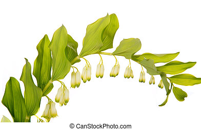 Arched flowers of Solomons seal - Solomon Seal spring...