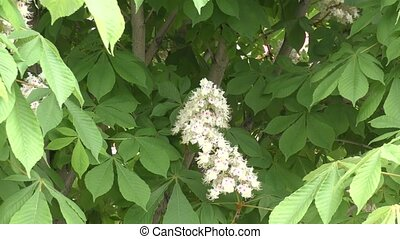 Blooming chestnut in the morning - Blooming chestnut in...
