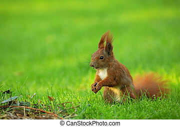 Squirrel Sciurus vulgaris - Red Squirrel Sciurus vulgaris...