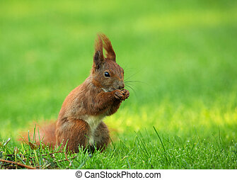Squirrel (Sciurus vulgaris) eating seeds