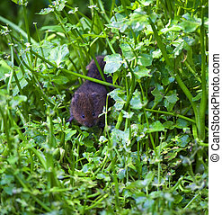 Water Vole Arvicola terrestris - A Young Water Vole Among...
